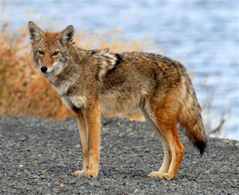 coyote hybrid coyote or wolf michigan s hybrids creature