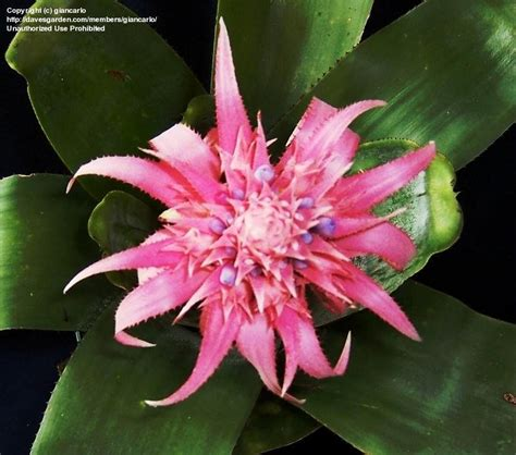 Silver Vase Plant by Plantfiles Pictures Aechmea Bromeliad Urn Plant Silver