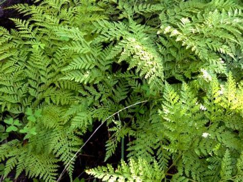 Entretien Fougere Exterieure by Fougeres Plantes Exterieur Awesome Blechnum Fougre Plante