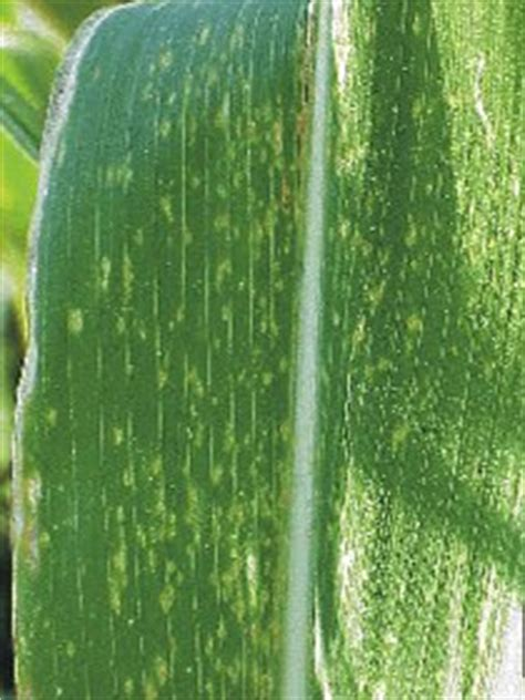 maize chlorotic mottle virus cropwatch