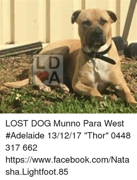 Lost Dog Meme - lost dog munno para west adelaide 131217 thor 0448 317