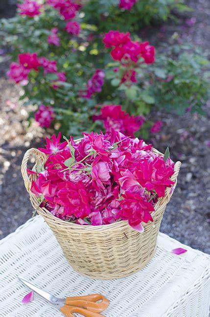 deadheading knockout roses natalie s garden what s natalie doing