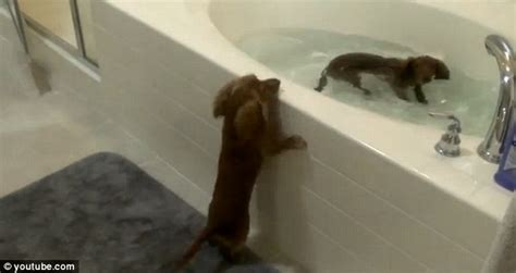 two dogs in a bathtub the daschunds that love bath time hilarious moment owner