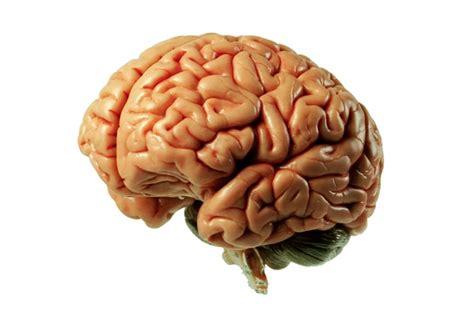 imagenes de el cerebro humano cerebro humano funciones y partes con im 225 genes