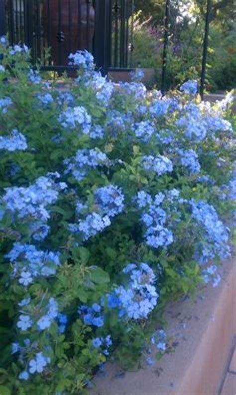 25 best ideas about plumbago on