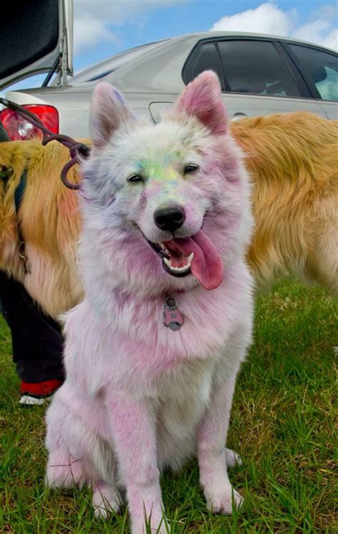samoyed colors she knew how she d look after a color run but she never