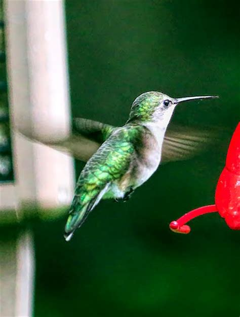 dan tallman s bird blog ruby throated hummingbird