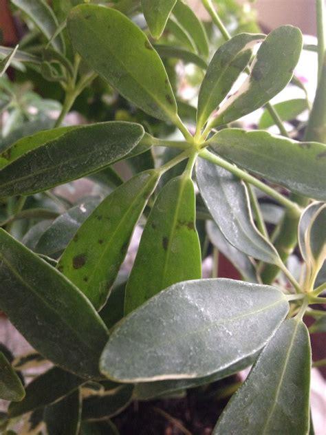 schefflera losing healthy  leaves