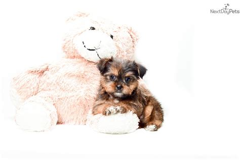 shorkie puppies for sale in ohio shorkie adoption breeds picture