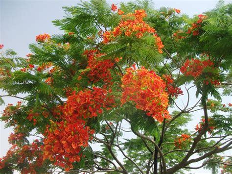 Benihbijibibit Pohon Flamboyan Merah 1 beautiful park حديقة جميلة taman indah flamboyan