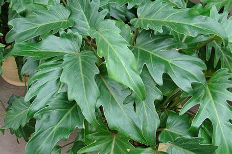 schattige zimmerpflanzen zimmerpflanzen f 252 r schattige standorte gartencenter