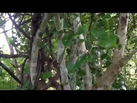 video clip hay pohon kayu ular papua aesazmociy0 xem