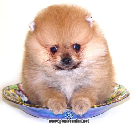 pomeranian illnesses pomeranian health issues explained pomeranian information and facts