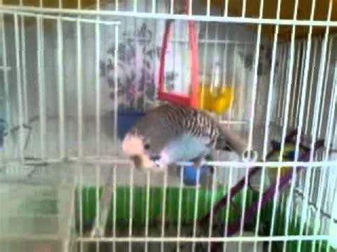 uccellini da gabbia un uccellino in gabbia