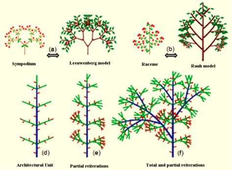 definition pattern of growth uved plant growth modelling greenlab model overview