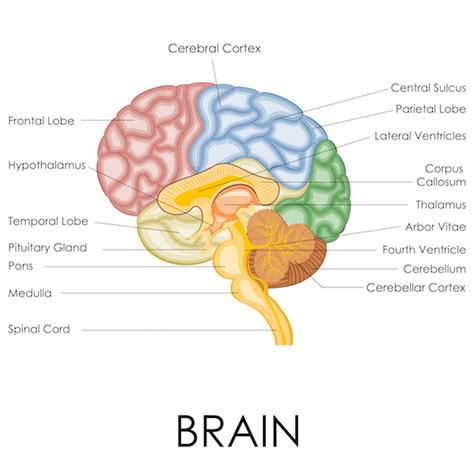 Sections Of The Brain And What They by Becoming Mindful Of The Brain And Its Functions