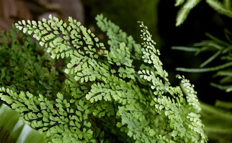 Indoor Fruit Garden - maidenhair fern burke s backyard