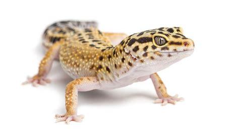 Leopard Gecko 2 guide to leopard gecko pet care