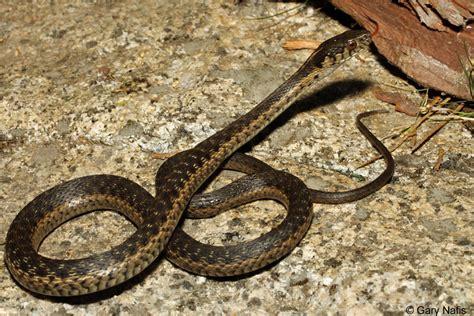 Garden Snake Diet Patterned California Snakes