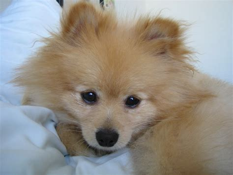 pomeranian bed 60 baby pomeranians for every minute of your lunch sweet pomeranian