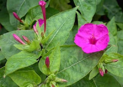 fiore di notte significato dei fiori la di notte pollicegreen