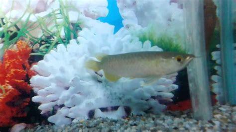 arwana golden 15cm