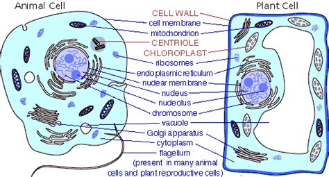 up letter between plant and animal cell animal cell structure function of animal cell