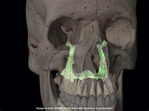 palatine bone palatine bone cranio pinterest