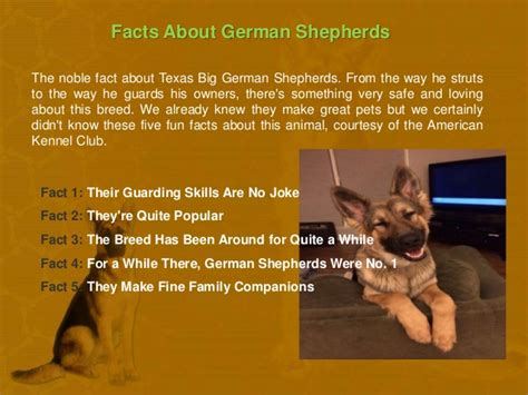 german shepherd facts big german shepherds facts about