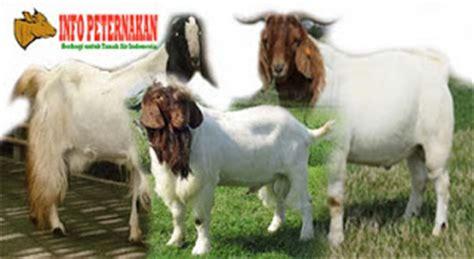 Starbio Ternak Kambing pakan fermentasi ternak kambing peternakan