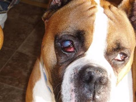 nuclear sclerosis in dogs s eye is with a blue cloud nuclear sclerosis