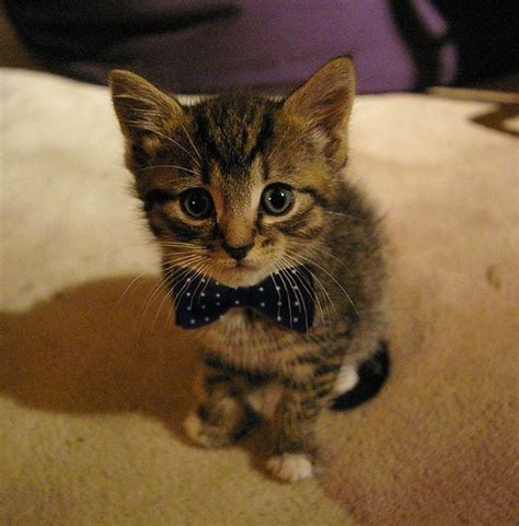 top 10 best cats with bow ties pictures bro j