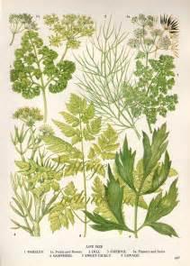 herbs vintage botanical print antique plant print 147 botanical print bookplate art print