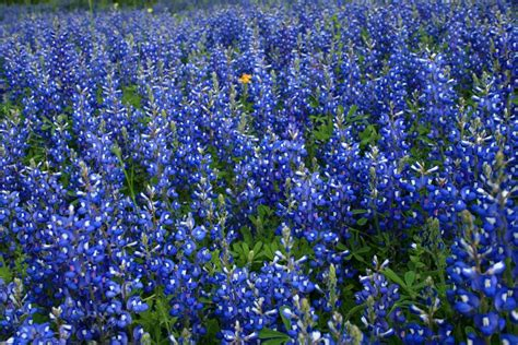 bluebonnet wallpapers wallpaper cave
