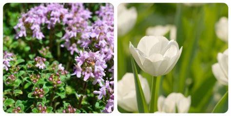 tulipano significato dei fiori significato dei fiori mamma felice