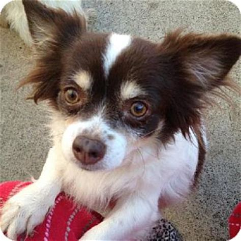 papillon mix puppies chion papillon chihuahua mix info temperament puppies pictures