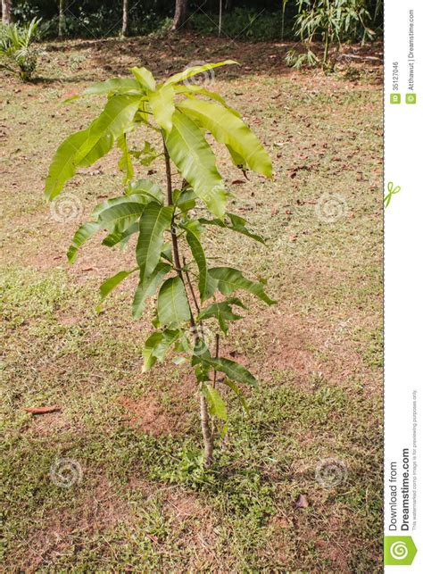 tiny petite small mango tree royalty free stock image image 35127046