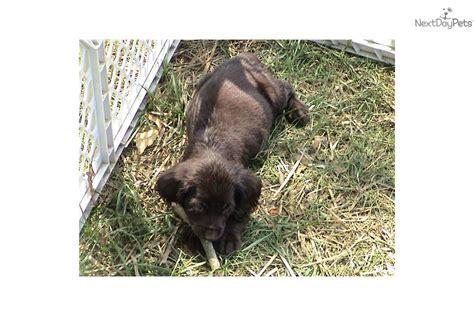 boykin spaniel puppies for sale near me boykin spaniel puppy for sale near carolina 72f06f6f e1b1