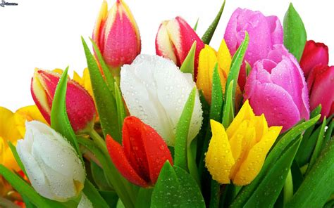 imagenes de flores tulipanes image gallery tulipanes flores
