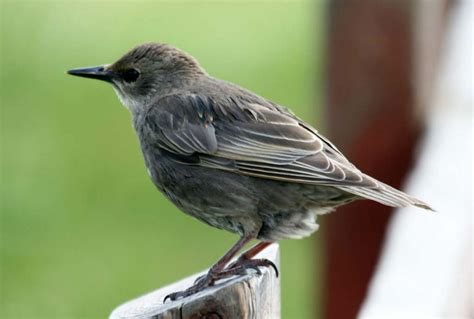 Garden Birds by Take Part In The Rspb S Annual Big Garden Birdwatch