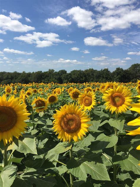 grinter farms grinter s sunflower farm 16 photos farms 24154 stillwell rd ks united states