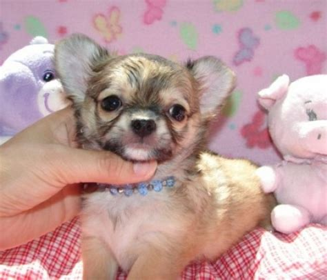 free baby puppies free teacup chihuahua tiny teacup baby chihuahua puppies for sale utah wyoming