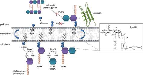 structure  lipid ii  membrane  reactions