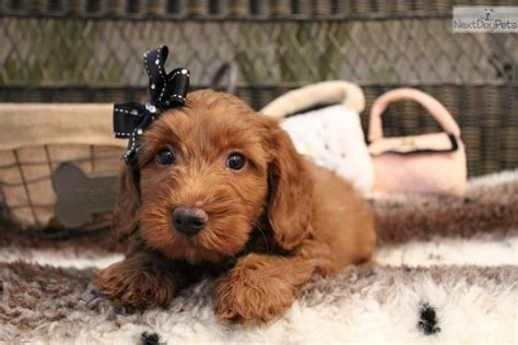 mini goldendoodles florida goldendoodle puppy for sale near west palm florida