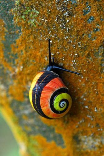 terrestrial snail pictures about animals 17 best images about cuban fauna uniqueness on