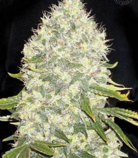 cannabis seed bank buy bulk seed bank white widow cannabis seeds
