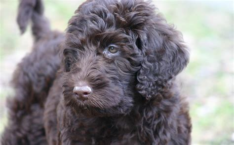 labrador doodle puppies for sale lab mix labrador cross breeds the labrador site