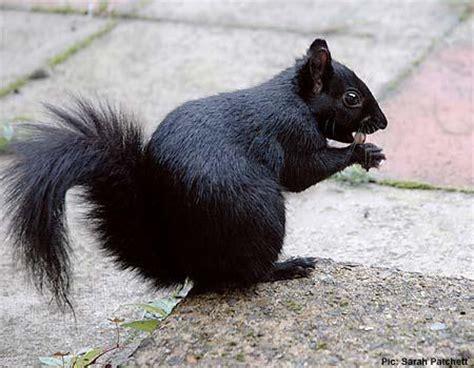 Maynard Life Outdoors And Hidden History Of Maynard Black Black Squirrel