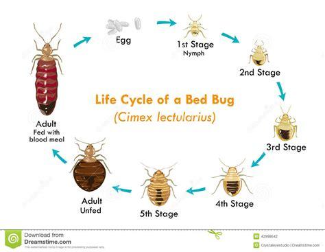 insectos de cama ciclo de vida vector eps10 insecto de cama