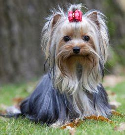 yorkie age span top 10 breeds for a new york city lifestyle friendly professional walking